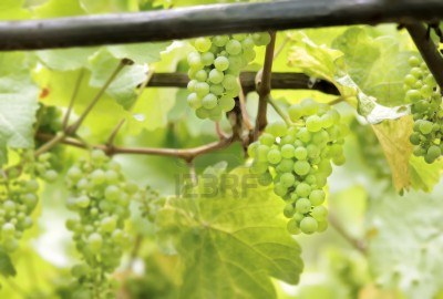 15170194-green-wine-grapes-in-summer-in-the-rheingau-area-hesse-germany