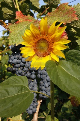 17408857-big-red-grapes-waiting-for-the-harvest