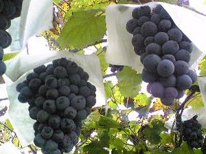 300px-Muscat_grapes